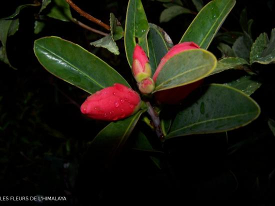 Camellia changii.boutons