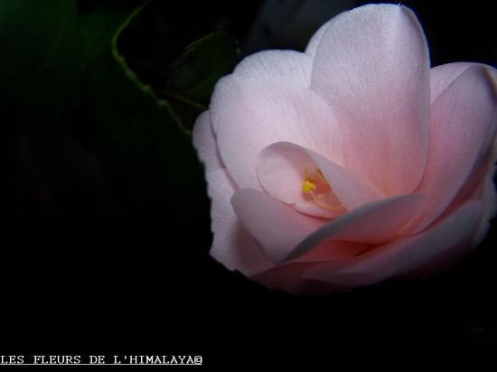 Fleur Dipater