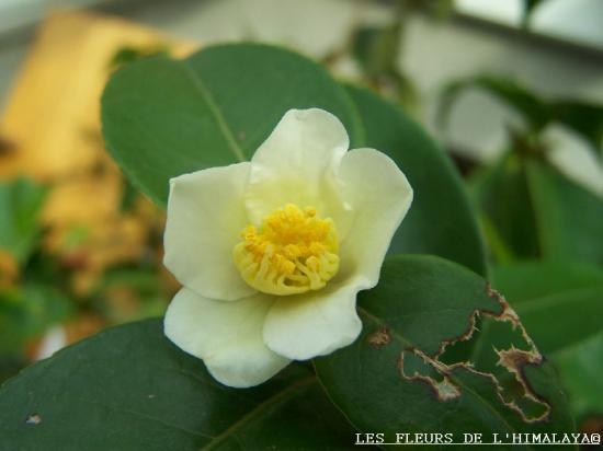 Camellia sp. 'Kissii'